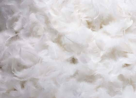 Fluffy goose down feathers